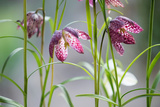 Snake's Head Fritillary, Fritillaria Meleagris. Side Photographic Print by Paul Seheult
