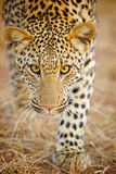The Leopard Is Member of Felidae Family Photographic Print by Shannon Benson