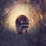 Wild Raccoon in Florida Wetlands at Sunset Photographic Print by Svetlana Foote