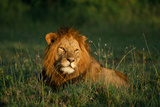 Male Lion Masai Mara National Park Kenya Photographic Print by Mike Hill