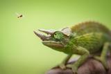 Hoverfly Flying Past a Jackson's Chameleon (Trioceros Jacksonii) Fotografisk tryk af  Shutterjack