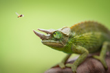 Hoverfly Flying Past a Jackson's Chameleon (Trioceros Jacksonii) Photographic Print by Marianne Winther