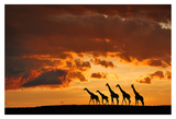 Five Giraffes Prints by Muriel Vekemans