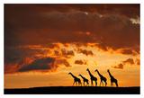 Five Giraffes Prints by Muriel Vekemans