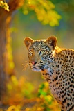 The Leopard Is Member of Felidae Family Photographic Print by Nano Calvo