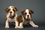 English Bulldogs Photographic Print by Tomas Speight