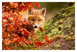 Fox Posters by Robert Adamec