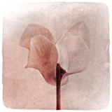 Close Up of a Pink Flower Photographic Print by Tim Kahane