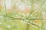 Closeup of Stalks on Organic Asparagus Plant Photographic Print by Lars Hallström