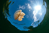 Jellyfish Lake, Palau Photographic Print by Wendy Capili-Wilkie
