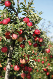 Apple Orchard with Red Apples Photographic Print by Klaus-Peter Wolf