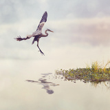 Great Blue Heron in Flight Photographic Print by Paul Watzlaw