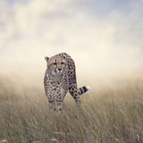 Cheetah Photographic Print by Paul Watzlaw