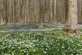 Hallerbos in Spring in Belgium with Beech Trees and Purple Bluebells Photographic Print by Daan Kloeg
