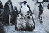 Chinstrap Penguins Antarctica Papier Photo par Steve Bloom