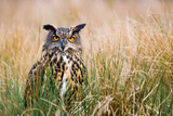 A European Eagle Owl Hiding in the Grass Photographic Print by Paul Mortlock