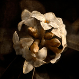 A Daphne Flowerhead with Vintage Colour and Textures Added Photographic Print by Tim Kahane