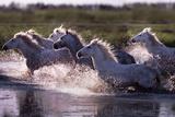 Camargue Horses Running Through Water France Papier Photo par Steve Bloom