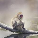 Japanese Macaque Fotografisk trykk av Paul Watzlaw