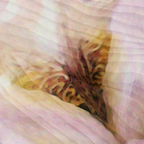 Folds of Fabric with an Iris Photographic Print by Tim Kahane