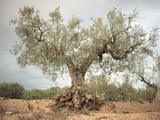 An Old Olive Tree Photographic Print by Roland Andrijauskas