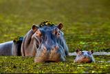 Mother and Baby Hippo Okavango Delta Botswana Papier Photo par Steve Bloom