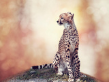 Cheetah Sitting on a Hill and Looking Around Photographic Print by Svetlana Foote