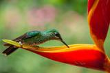 A Green-Crowned Brilliant Hummingbird Feeding Papier Photo par Todd Sowers