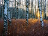 Close-Up of Birch Tree Trunks in Forest Photographic Print by Mikael Svensson