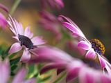Osteospermum Silvia or African Daisy Differentially Focused Photographic Print by Pearl Bucknall