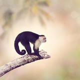 White Throated Capuchin Monkey on a Branch Photographic Print by Svetlana Foote