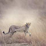 Cheetah Walking Photographic Print by Paul Watzlaw