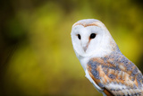 A Barn Owl Photographic Print by Paul Mortlock
