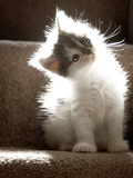 Close Up of Small Kitten Sitting at Bottom of Stairs, Glowing under Sunlight Photographic Print by Tim Kahane