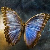 Creative Image of a Mounted Exotic Butterfly Photographic Print by Tim Kahane