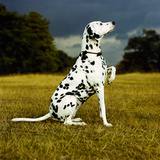 Dalmatian Sitting with Paw Up Fotografisk tryk af Sally Anne Thompson