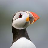 Atlantic Puffin. Isle of Lunga, Treshnish Isles, Isle of Mull, Scotland Papier Photo par Steve Bloom