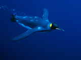 King Penguin Swims Photographic Print by Lee Dalton