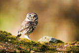 A Little Owl Perched on a Mossy Bough Photographic Print by Paul Mortlock