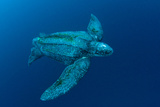 Male Leatherback Sea Turtle Photographed in the Open Ocean Offshore Jupiter, Florida, USA Photographic Print by Michael Patrick O'Neill