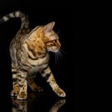 Beautiful Bengal Cat Photographic Print by Svetlana Mandrikova