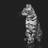 Beautiful Bengal Cat Photographic Print by Svetlana Mandrikova