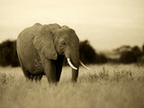 African Elephant in Amboseli National Park, Kenya Photographic Print by Santosh Saligram