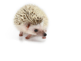 Hedgehog Isolated Photographic Print by Pongphan Ruengchai