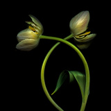 Tulipa, Tulip Photographic Print by Paul Seheult