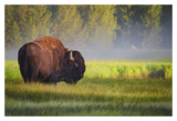 Bison in Morning Light Posters by Sandipan Biswas