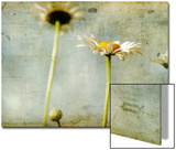Study of White Daisies Posters by Mia Friedrich