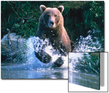 Grizzly Bear Running in Kinak Bay, Katmai National Park, U.S.A. Posters by Mark Newman