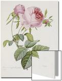 Rosa Kunstdrucke von Pierre-Joseph Redouté
