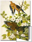 Carolina Turtle Dove Print by John James Audubon